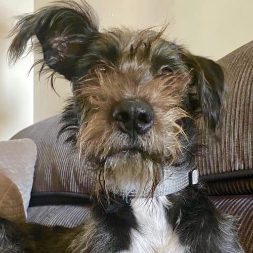 Bob - Cross breed Dog