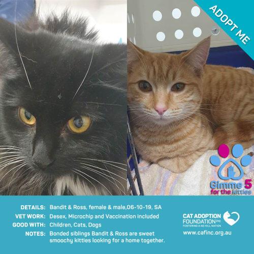 Bandit and Ross - Domestic Short Hair Cat