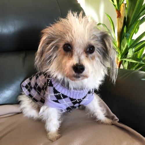 Penny - Maltese x Shih Tzu Dog