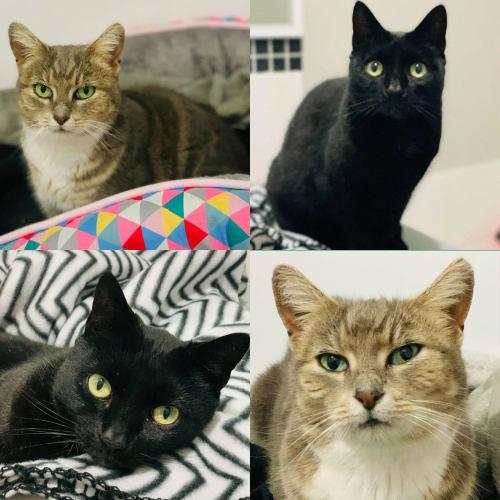3384/3385 - Minnie & Maude - Domestic Short Hair Cat