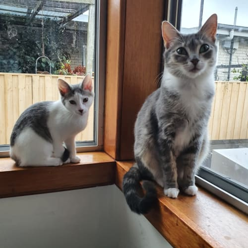 Gwen and Stacey - Domestic Short Hair Cat