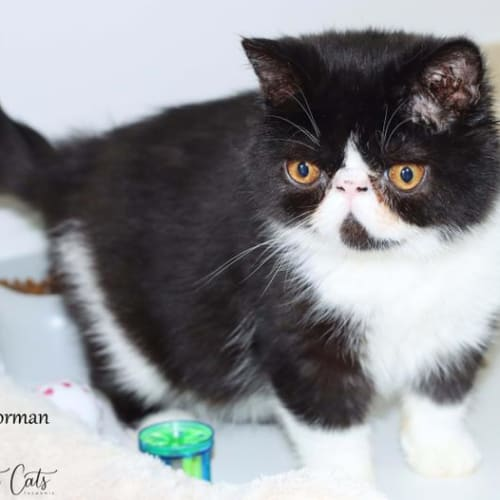 Norman - Exotic Shorthair Cat