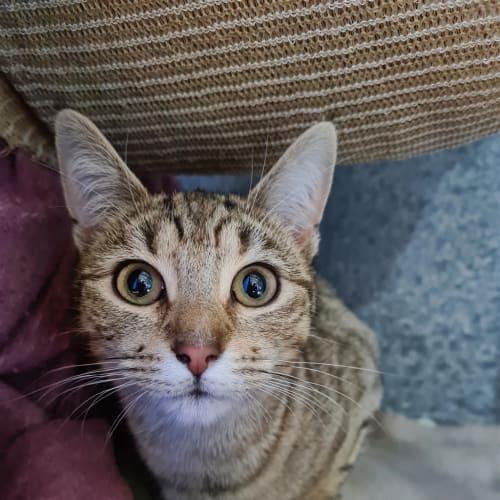 Cindi - Domestic Short Hair Cat