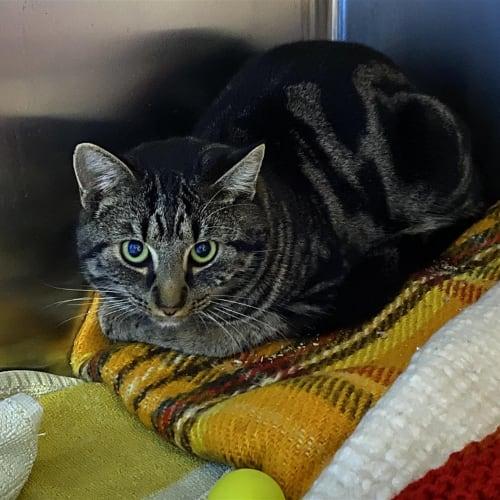Buck - Domestic Short Hair Cat