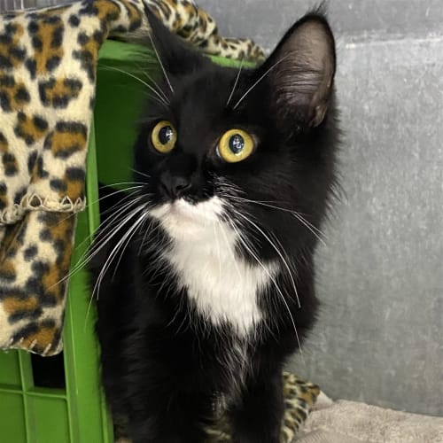 Hayley - Domestic Medium Hair Cat