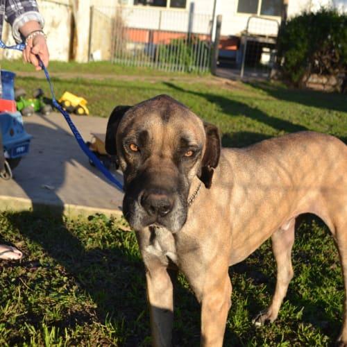 Duke  - Great Dane Dog