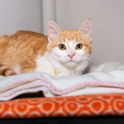 Bizu - Domestic Short Hair Cat