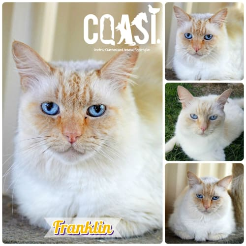 Franklin - Ragdoll Cat