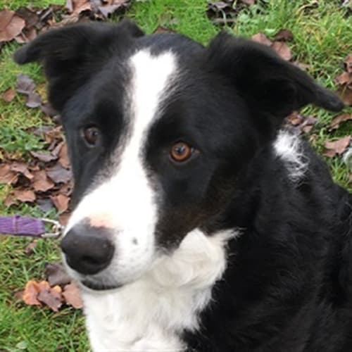 Max - Border Collie Dog