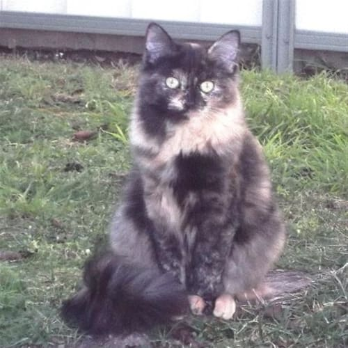 Calypso - Domestic Medium Hair Cat