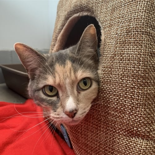 Amy - Domestic Short Hair Cat