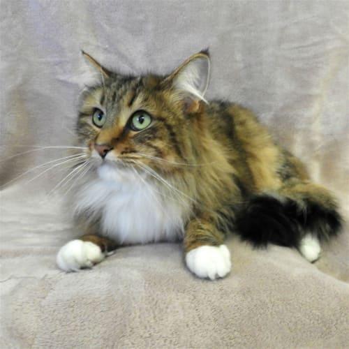 Pumba - Domestic Medium Hair Cat