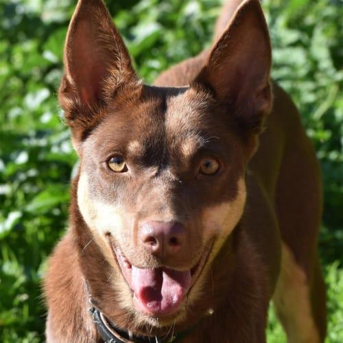 Orana - Kelpie Dog