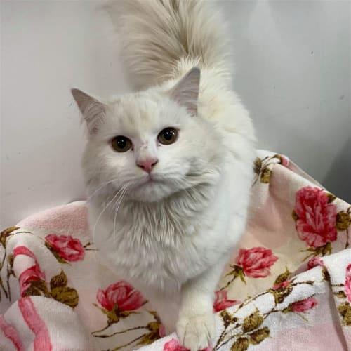 Jalapeno - Domestic Longhair Cat