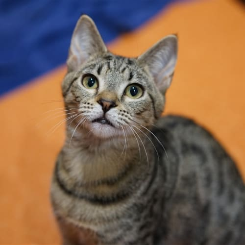 Sultine - Domestic Short Hair Cat