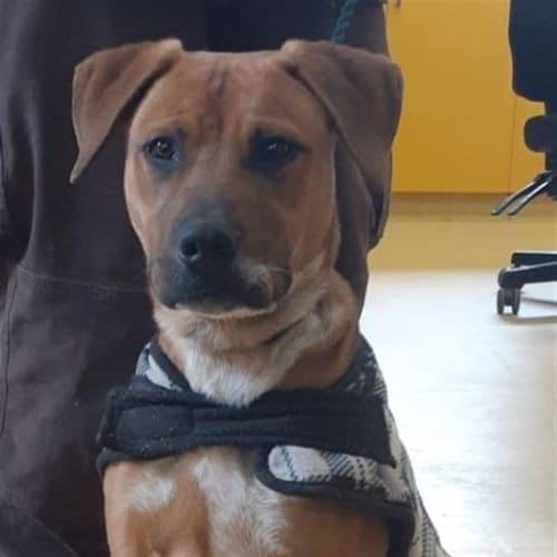 Rusty - American Staffy Dog