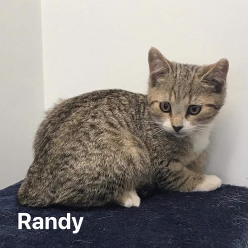 Randy - Domestic Short Hair Cat