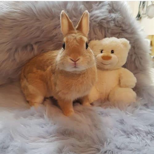 Ollie - Netherland Dwarf Rabbit