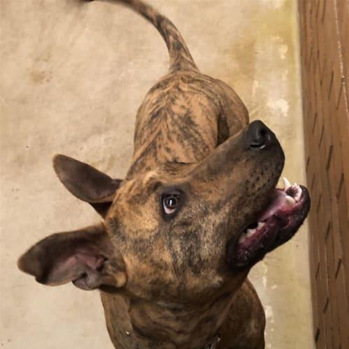 Tilly - Staffordshire Bull Terrier X Dog