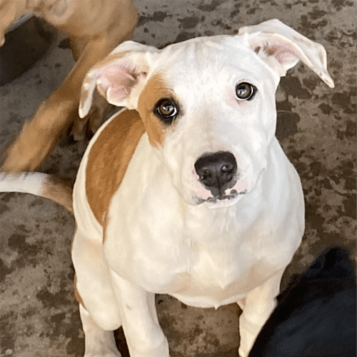 Callie - Kelpie x English Staffordshire Bull Terrier Dog