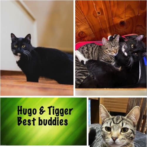 Hugo & Tigger - Domestic Short Hair Cat