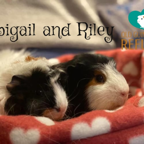 Abigail and Riley (unsuitable for kids under 13) - Abyssinian x Crested Guinea Pig