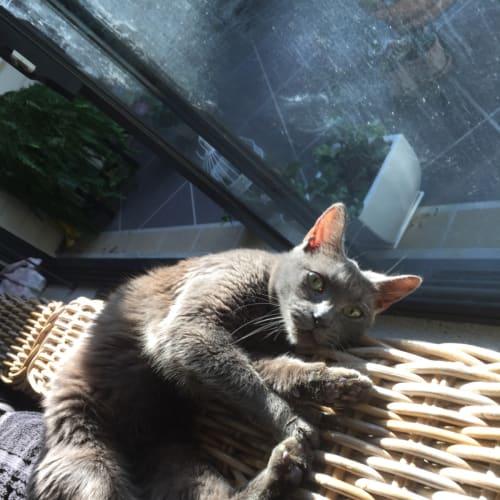 Thelma - Domestic Short Hair Cat