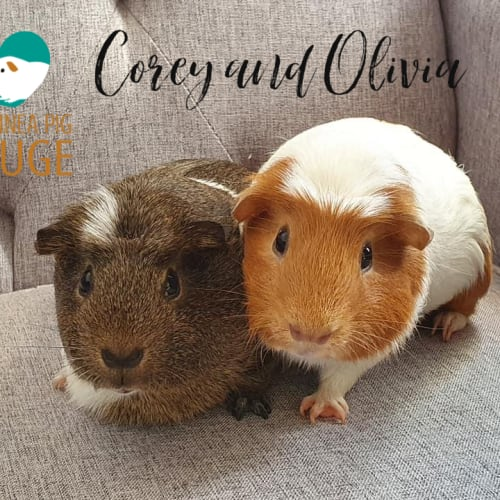 Corey (desexed male) and Olivia - Smooth Hair x Crested Guinea Pig