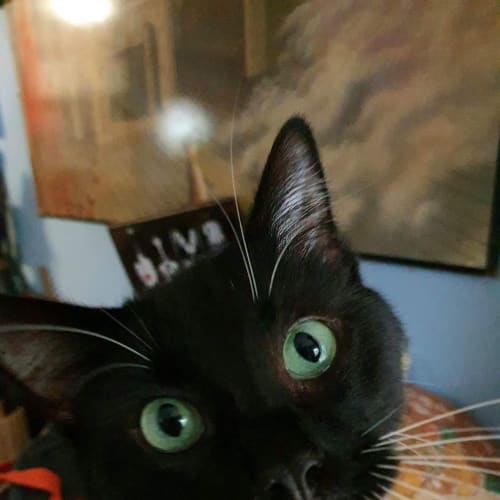 Harry - Domestic Short Hair Cat