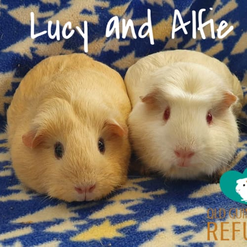 Lucy and Alfie (desexed male) - Crested x Smooth Hair Guinea Pig