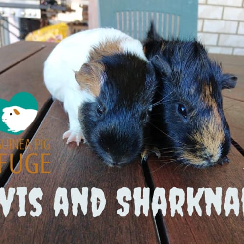 Elvis and Sharknado - Abyssinian x Smooth Hair Guinea Pig