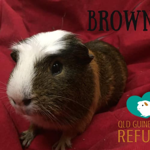 Browne - Crested Guinea Pig