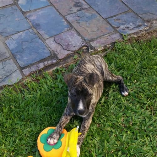 Halle - American Staffordshire Bull Terrier x Wolfhound Dog