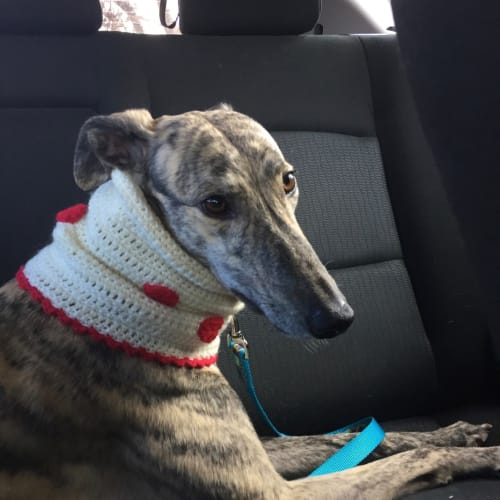 Cricket.   Melbourne - Greyhound Dog