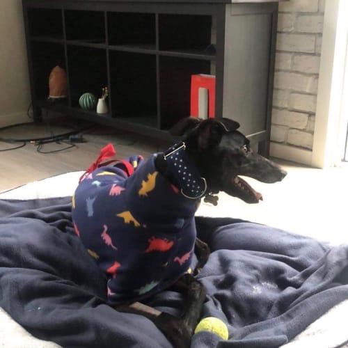 Timmy.   Melbourne - Greyhound Dog