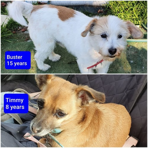 Buster Timmy - Jack Russell Terrier Dog