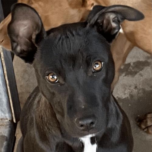 Sadie - Kelpie x English Staffordshire Bull Terrier Dog