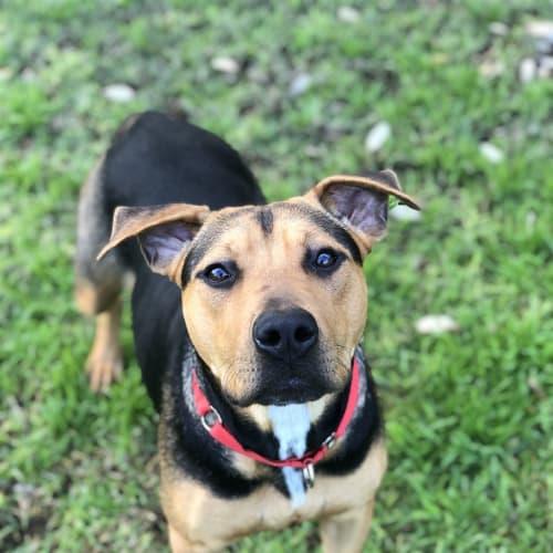 Posie - American Staffordshire Bull Terrier Dog