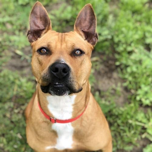 Porsha  - American Staffordshire Bull Terrier Dog