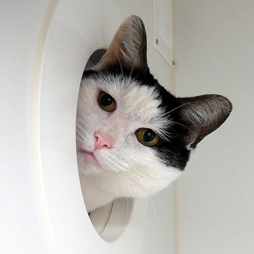 Joey STA005340 - Domestic Short Hair Cat