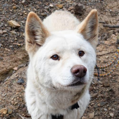Kimba- Dingo - Dingo Dog