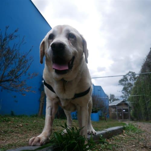 Jemima - Labrador Retriever Dog