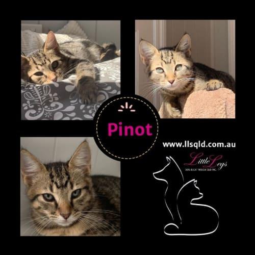 Pinot - Domestic Short Hair Cat