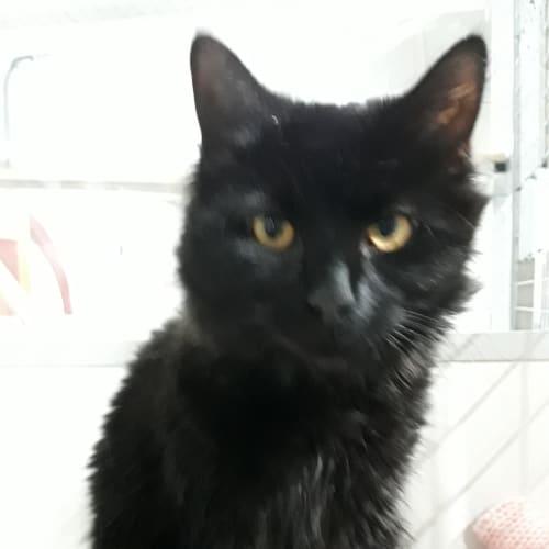 Tommy - Domestic Medium Hair Cat