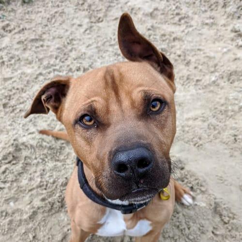 Agro - Staffordshire Bull Terrier Dog