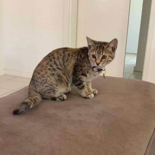 Willow - Domestic Long Hair Cat