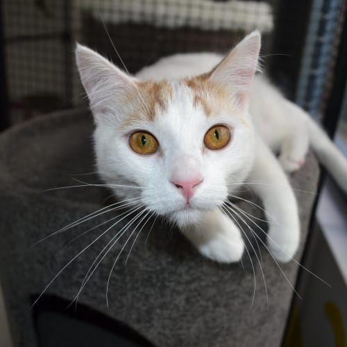 Gilligan - Domestic Short Hair Cat