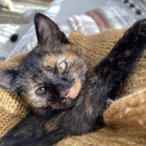 Maple - Domestic Short Hair Cat