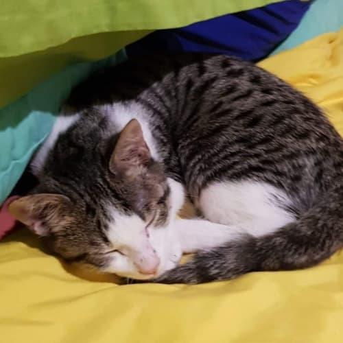 Tea - Domestic Short Hair Cat