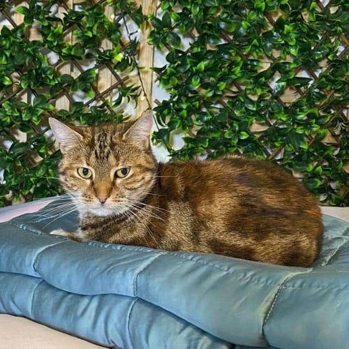 2323 - Paris - Domestic Short Hair Cat